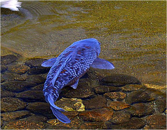 Are blue koi fish real for Carpe koi bleu